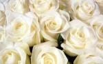 white-roses_1920x1200_15316